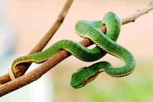 Green snake wrapped around a tree branch
