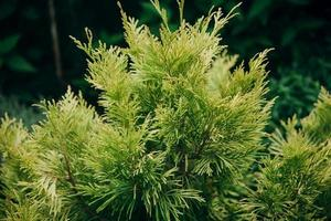 Parte superior de abeto verde aislado sobre fondo blanco. foto