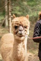 Holding alpaca by rein photo