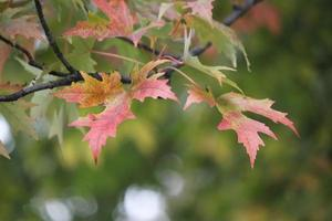 Autumnum pink maple leaves in the wind photo