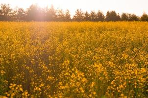 Yellow flowers in the field photo