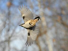 Attack of flying Nuthatch with open wings