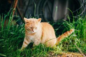gato rojo sentado en la hierba verde de primavera