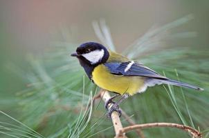 Great tit on a twig photo