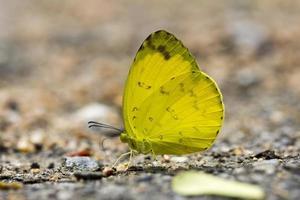 borboleta amarela grama de três pontos