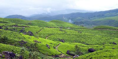 Tea plantation,Tea Crop