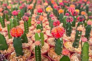 Ferme de cactus à Green House, Thaïlande