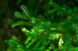 Fresh green fir branch photo