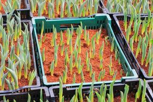 pousse de tulipes