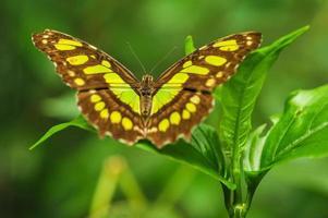 Mariposa malaquita en una hoja en la selva tropical foto