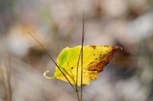 dried birch leaf photo
