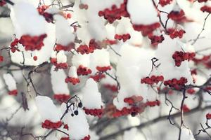 red berries under snow