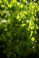 hojas tiernas de primavera