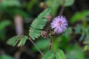 flor pequena grama