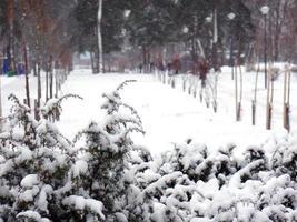 Arbusto de enebro en el parque cubierto de nieve