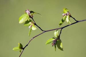 young beech leaves in spring with green background photo