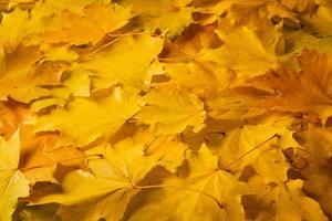 hojas de arce de oro