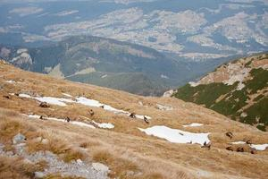 Group of mountain chamois in Tatry mountains