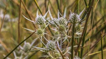 plant, mountain thorn photo