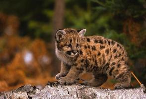 Baby Mountain Lion photo