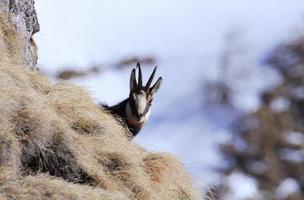 Gamuza de los Cárpatos en las montañas de Bucegi foto