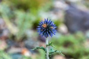 flower thorn blue mountains
