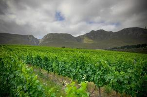 Huge vineyard and mountains photo