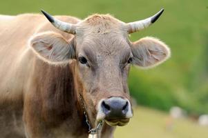 Cow on mountain pasture photo