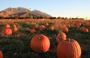 Pumpkin patch against mountains