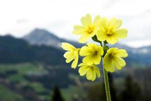 primula with mountain view