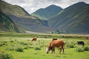 Cows graze in mountains