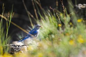 pássaro azul da montanha (sialia currucoides)
