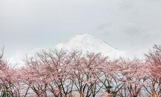 ญink cherry blossom tree in spring Kawaguchi lake, Japan photo
