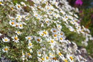 Mountain flowers and herbs Caucasus photo