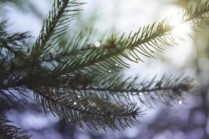 Fir with drops
