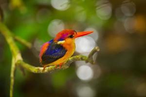 Black-backed Kingfisher photo