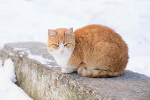 Ginger Cat sitting on a Rock photo