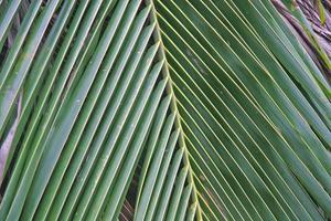 Close up of a palm tree leaf.