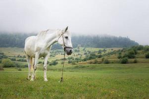 Beautiful white horse on the meadow in a foggy day photo