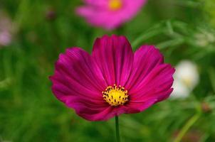 flor rosa cosmos foto