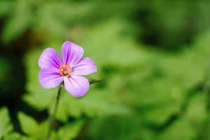 Geranium robertianum macro photo