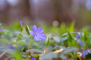 Vinca minor o flor de bígaro en primavera