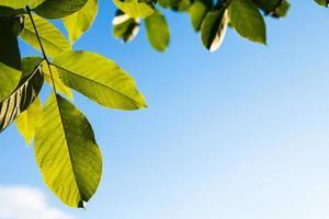 folhas verdes iluminadas de nogueira