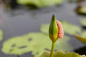 lotus violet avec des coquilles d'oeuf bâton.