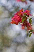 señalización de la primavera - flores de buganvilla foto