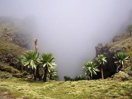 lobelias gigantes en las montañas simien