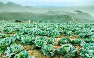 Cabbage growing on the mountains