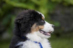 Bernese Mountain Dog puppy, UK photo