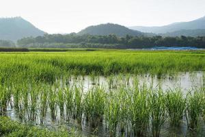 campo de arroz cerca de una montaña