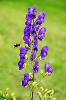 flower in mountain with bee photo